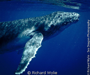 Baby humpback whale in the waters of Vava'u, Tonga. This ... by Richard Wylie 